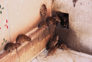 Emerlad rat control