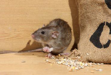 Brown rat, Rattus norvegicus, captive, by corn sack,  August 2009